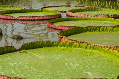 Lotusblomman Arkivfoto