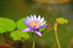 Lotusblomman Arkivbild