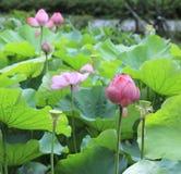 Lotusblomman och den blåa himlen och gräsplanen spricker ut Arkivbilder