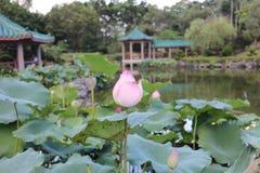 lotusblomman på Fanling Hong Lok Park hk royaltyfri fotografi