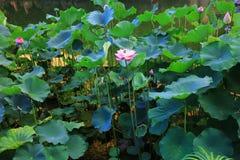 lotusblomman på Fanling Hong Lok Park hk royaltyfria bilder