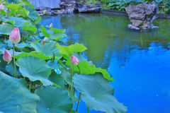 lotusblomman på Fanling Hong Lok Park hk fotografering för bildbyråer