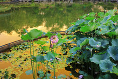lotusblomman på Fanling Hong Lok Park hk arkivbilder