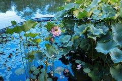 lotusblomman på Fanling Hong Lok Park hk royaltyfri foto