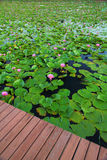 lotusblommapink Royaltyfri Fotografi