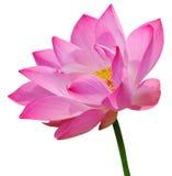 lotusblommapink Royaltyfri Bild