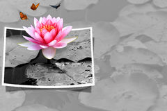 lotusblommapink Arkivbild