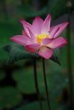 lotusblommapink Royaltyfria Bilder