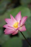 lotusblommapink Fotografering för Bildbyråer