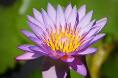 lotusblommapurple arkivfoton