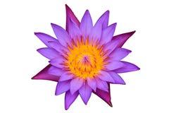 lotusblommapurple Royaltyfria Foton
