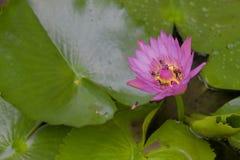 lotusblommapurple Royaltyfri Fotografi