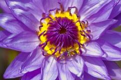 lotusblommapurple arkivfoto