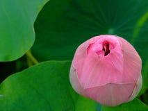 lotusblommapurple Royaltyfria Bilder
