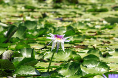 Lotusblommar blommar i damm Royaltyfria Foton