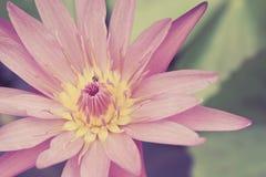 Lotusblommar blommar i damm Arkivbilder