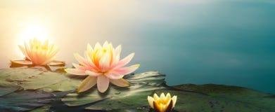 Lotusblommar blommar i damm royaltyfri bild