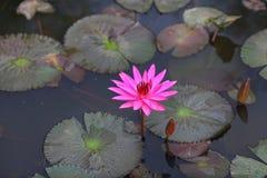 Lotusblommar blommar i rosa färg som växer i damm Fotografering för Bildbyråer