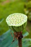 Lotusblommar kärnar ur Arkivfoto