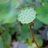 Lotusblommar kärnar ur Royaltyfria Bilder