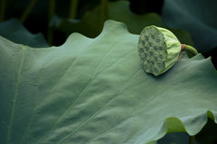 lotusblommar kärnar ur Arkivbilder