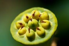 lotusblommar kärnar ur Arkivbild