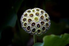 lotusblommar kärnar ur Arkivfoton
