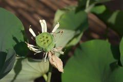 lotusblommar kärnar ur Royaltyfri Bild