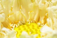 lotusblommar kärnar ur white Royaltyfri Bild