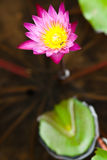 lotusblommared Arkivfoton