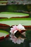 lotusblommareflexion Royaltyfria Bilder