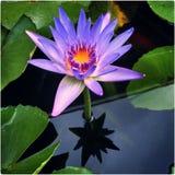 lotusblommaresning Royaltyfria Bilder