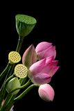 lotusblommarotting Arkivbild