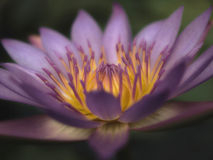 lotusblommasepia Arkivfoton