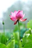lotusblommavatten Arkivbilder