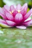 lotusblommavatten Royaltyfri Bild