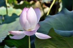 lotusblommawhite Royaltyfria Foton