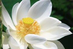 lotusblommawhite Arkivbilder