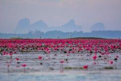 Lotusblommor i lagun Fotografering för Bildbyråer