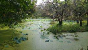 Lotusblommor i pöl Arkivbilder