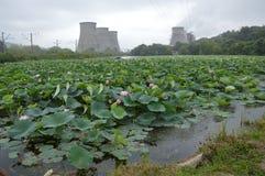 Lotusblommor i Primorsky Krai Arkivfoto