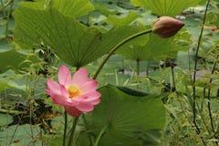 Lotusblommor Komarova Fotografering för Bildbyråer