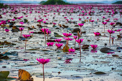 Lotuses στη λιμνοθάλασσα Στοκ φωτογραφία με δικαίωμα ελεύθερης χρήσης