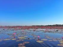 lotuses Foto de archivo