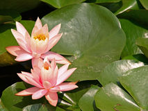 Lotuses Immagine Stock