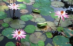 Lotuses. In wild pond, south india Stock Image