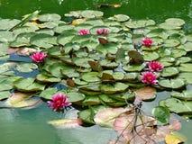 Lotuses. Στοκ Φωτογραφίες