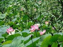 lotuses Fotografia Stock Libera da Diritti