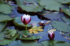 Lotuses immagine stock