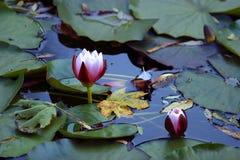 Lotuses Stock Image